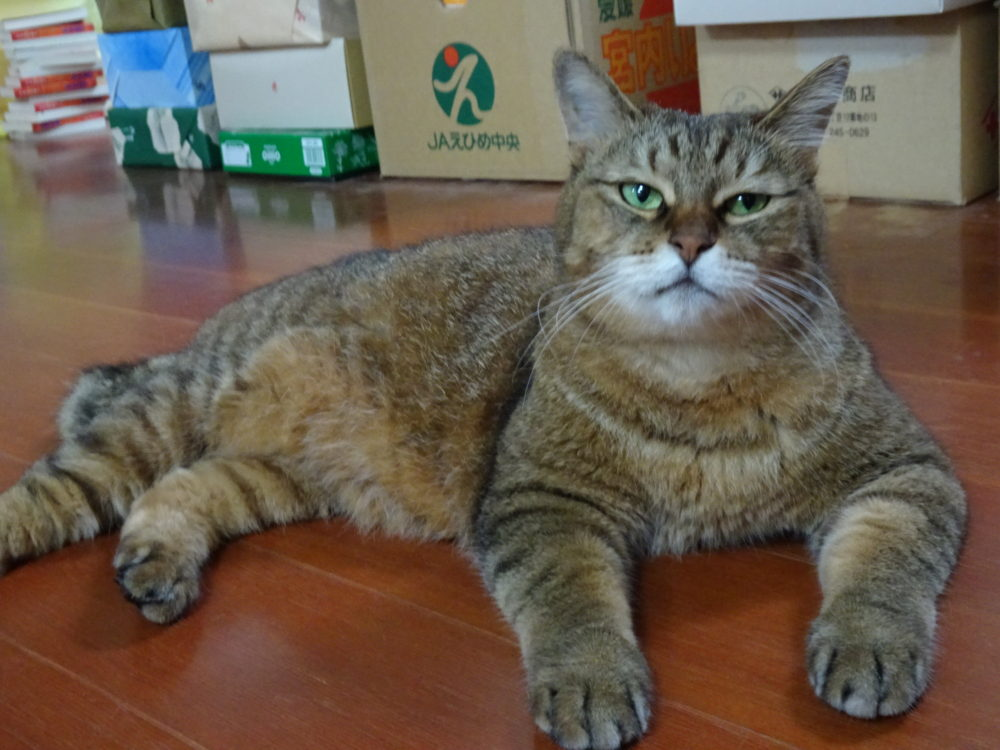 飼い猫タビー